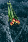 Tulips on Ice. Royalty Free Stock Photos