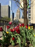Tulips and Iconic Buildings. This is a Spring picture featuring a garden of tulips with three of the most iconic building of Chicago, Illinois in the background Royalty Free Stock Photos