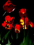 Tulips illuminated in night Royalty Free Stock Photography