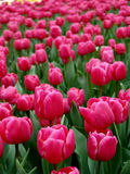 Tulips In Full Bloom Royalty Free Stock Photos