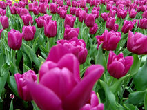 Tulips In Full Bloom Stock Photography