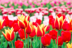 Free Tulips In Full Bloom Royalty Free Stock Photography - 52160367