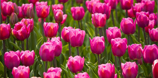 Free Tulips In Spring Sun Royalty Free Stock Image - 23854836