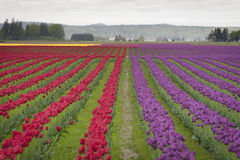 Free Tulips In The Skagit Valley Stock Image - 69950181