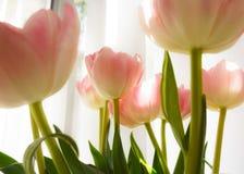 Tulips indoor decor Stock Image