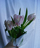 Tulips. International women`s day. royalty free stock photography