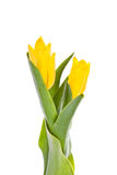 Tulips isolados no fundo branco cores Imagem de Stock