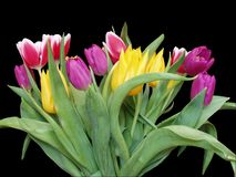 Tulips - Isolated. A beautiful bunch of spring tulips Royalty Free Stock Images