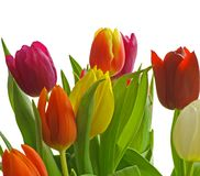 Tulips Isolated. Red, Violet, Orange and Yellow Tulips isolated on a white background Stock Photos