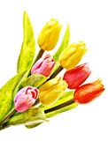 Tulips isolated Royalty Free Stock Images
