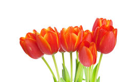 Tulips isolated Stock Photography