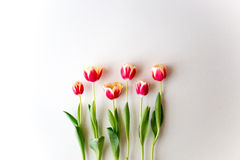 Tulips on isolated background. Spring tulips on a white wall Royalty Free Stock Photography