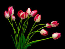 Tulips isolated on black background Royalty Free Stock Photo