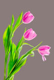 Three Tulips. Tulips isolated on a grey background Royalty Free Stock Image