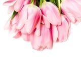 Tulips isolated on white Stock Photos
