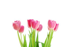 Tulips isolated on white Stock Photography