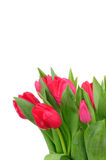 Tulips isolated on white Stock Image