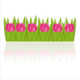 Tulips isolated on white Stock Image
