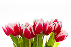 Tulips isolated on white Royalty Free Stock Images