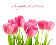Tulips isolated on white background Royalty Free Stock Photo