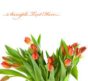 Tulips isolated on white background Royalty Free Stock Photos