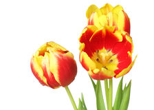 Tulips isolated on white background Stock Photography