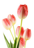 Tulips isolated on white background Stock Photos