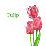 Tulips isolated on a white background. Royalty Free Stock Images