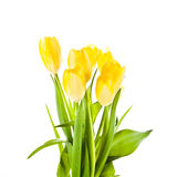 Tulips isolated on white background. colors flowers Stock Image