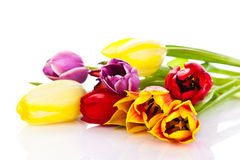 Tulips isolated on white background. colors flowers Stock Photos