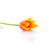 Tulips isolated on white background. colors flowers Stock Photo