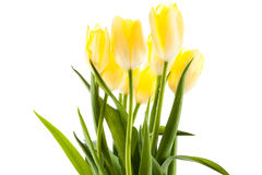 Tulips isolated on white background. colors flowers spring Stock Photos