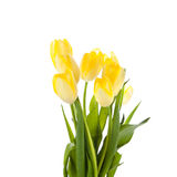 Tulips isolated on white background. colors flowers Royalty Free Stock Image
