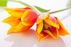 Tulips isolated on white background. colors flowers Royalty Free Stock Photos