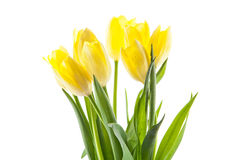 Tulips isolated on white background. colors of spring flowers postcard Royalty Free Stock Photography