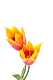 Tulips isolated on white background. colors of spring flowers Stock Images