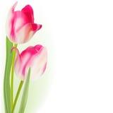 Tulips Isolated on white background. EPS 8 Royalty Free Stock Photos