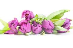 Tulips isolated on white background Stock Photography