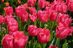 Tulips in Istanbul Royalty Free Stock Photography