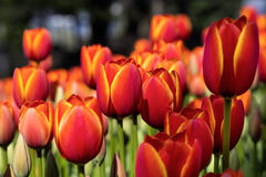 Tulips. In the Istanbul garden Royalty Free Stock Images