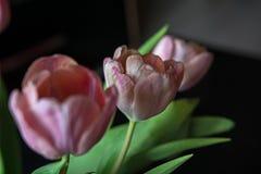 Tulips IV Royalty Free Stock Photos
