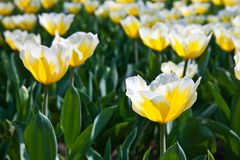 Tulips - Jaap Groot varieties Royalty Free Stock Images