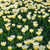 Tulips - Jaap Groot varieties Stock Photography