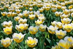 Tulips - Jaap Groot varieties Royalty Free Stock Image