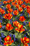 Tulips with jagged petals in the garden. Red-yellow tulips with jagged petals in the garden together with blue hyacinths Royalty Free Stock Image