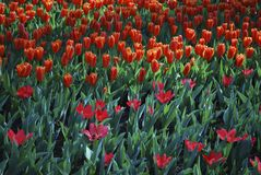 Tulips Job's Memory Greigii group and Love Songs Kaufmanniana grown in the park. Spring time in Netherlands stock images