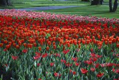 Tulips Job's Memory Greigii group, Love Songs, Showwinner and Fashion Kaufmanniana group grown in the park. Spring time in Netherlands stock photo