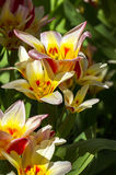 Tulips of the Kaufmanniana Floresta species. Stock Photos