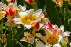 Tulips of the Kaufmanniana Floresta species. This species of tulips has several flowers on one plant Royalty Free Stock Image