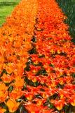 Tulips at The Keukenhof, Dutch Public Spring Flowers Garden stock photo